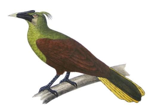 Image of Para oropendola - Psarocolius bifasciatus
