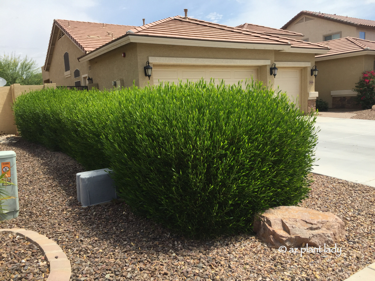 An Attractive Drought Tolerant Hedge For Southwestern Gardens