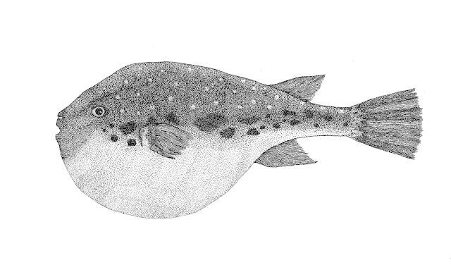 fugu fish drawing, fugu-fish graphic gravure engraving drawing, фугу гравюра рисунок графика