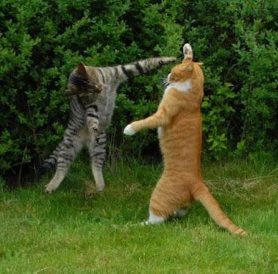 Foto kucing berantem yang keren 07