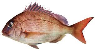 gambar macam macam ikan laut yang dapat dikonsumsi