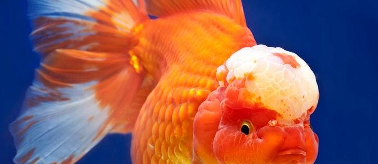 Ikan Mas Koki Lionhead Ciri-Ciri dan Klasifikasinya
