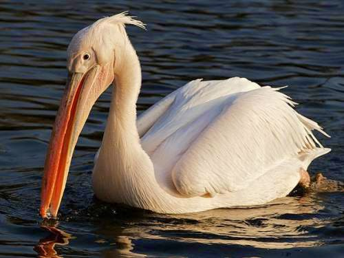 Indian birds - Great white pelican - Pelecanus onocrotalus