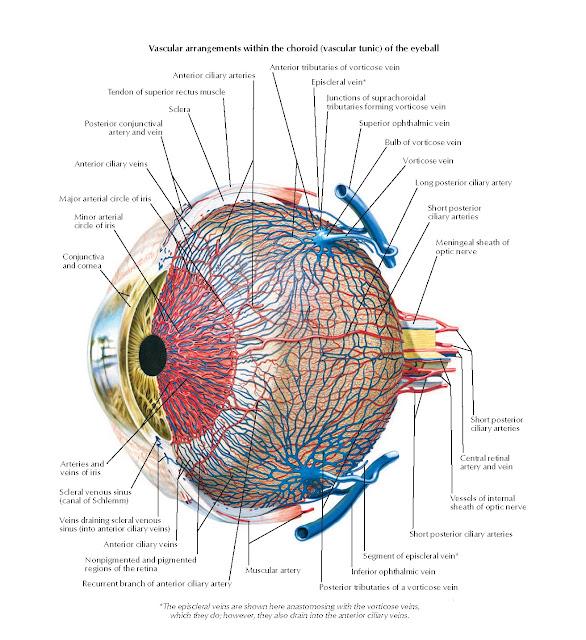 Vascular Supply of Eye Anatomy
