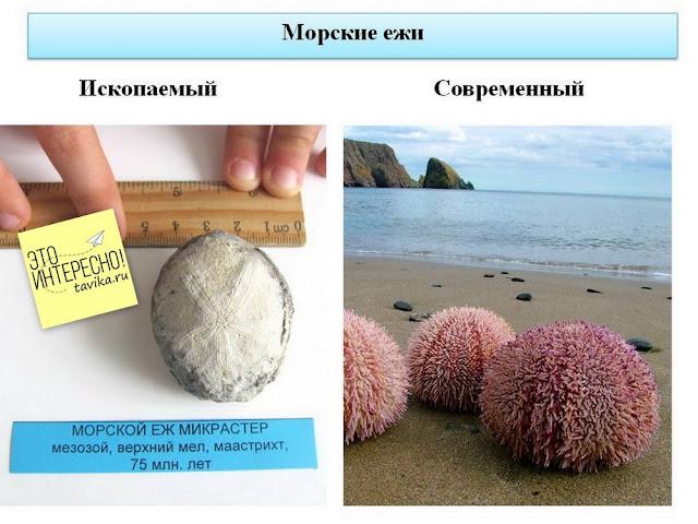 Ископаемый морской еж микрастер его современный аналог