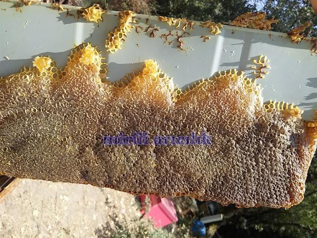 Guclu ariya ana kabul ettirme, arılarda ogul engelleme teknigi ve ana arida kalite