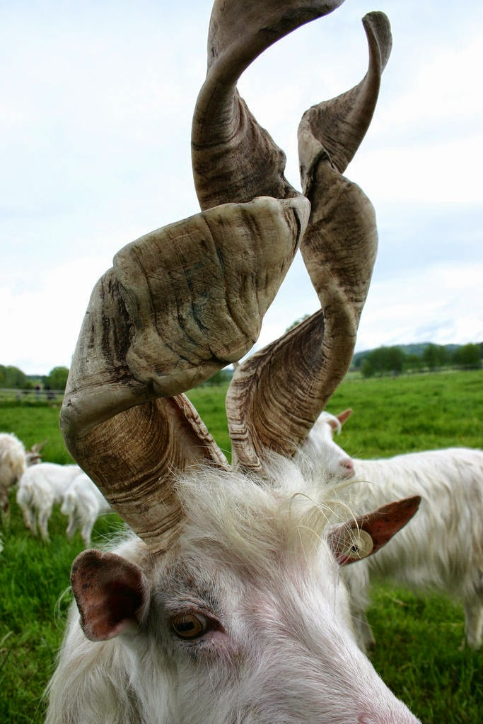 Goat With Spiral Horns