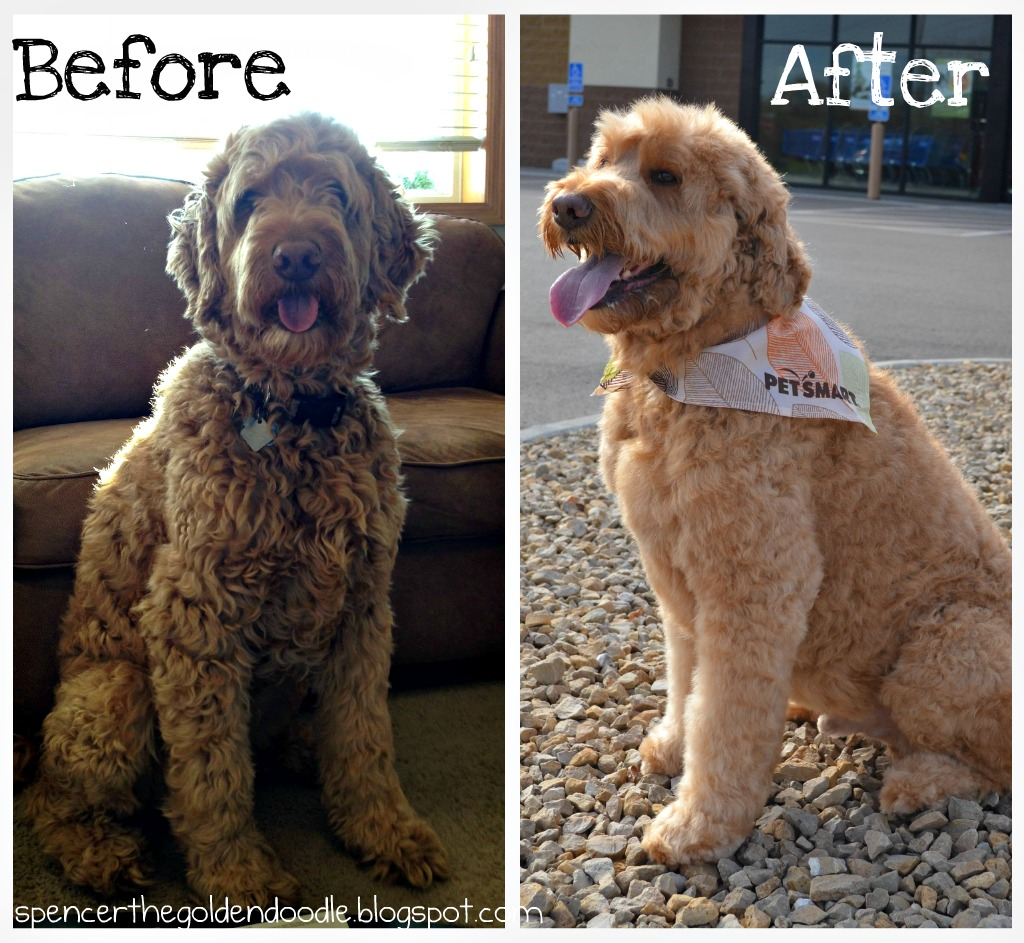 goldendoodle haircut before and after pictures spencer the goldendoodle per your pet at petsmart
