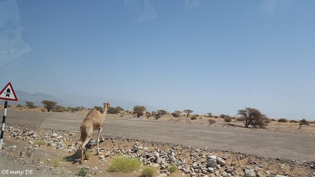 Camel crossing ~ Oman by ©Emmy DE