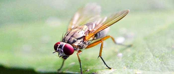Lalat Buah Berpikir Sebelum Bertindak