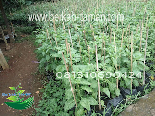 Jual pohon cabe rawit