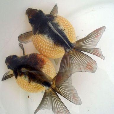 ikan mas koki terbesar