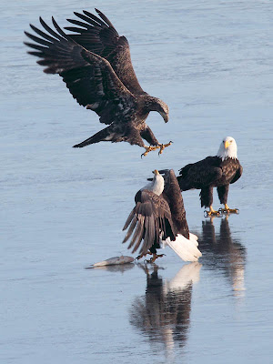 Eagles Fighting for a Fish on the Ice