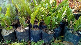 Jual Pohon Jamia Dolar,Jual Tanaman Hias Jamiya Dolar,Jual Pohon Dolar,Supplier Tanaman Hias