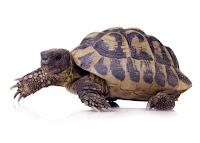 Beyaz bir zeminde yürüyen bir kaplumbağa ya da tosbağa