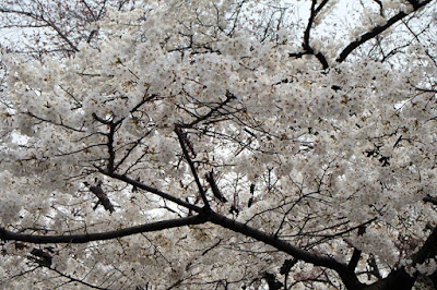White Sakura Tree in Ueno Tokyo Japan