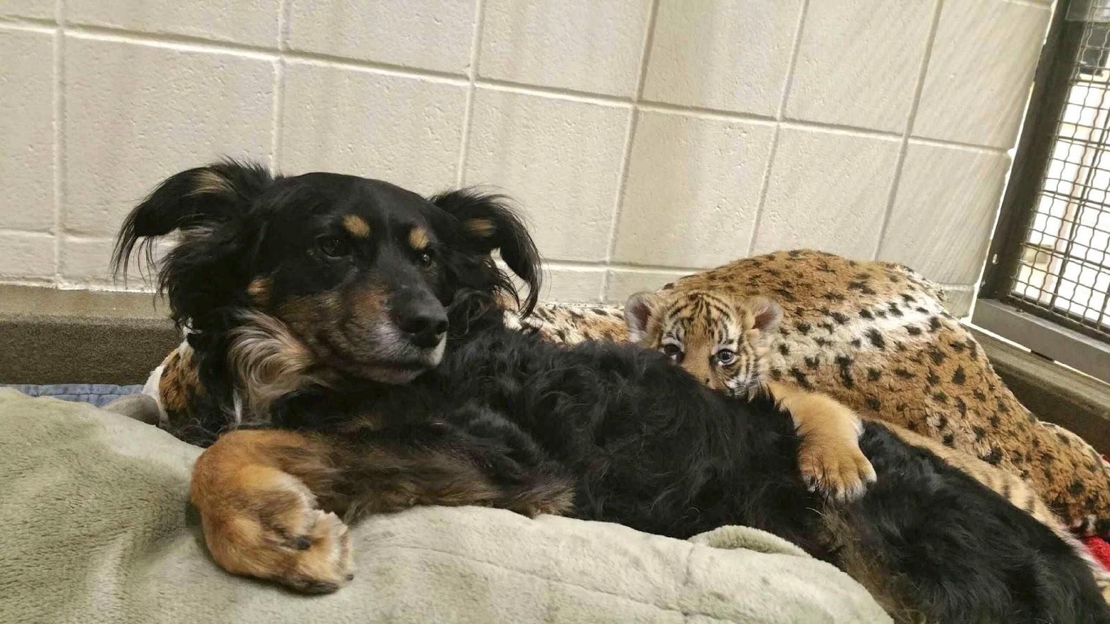 Seekor Anjing Gembala Merawat 3 Bayi Harimau