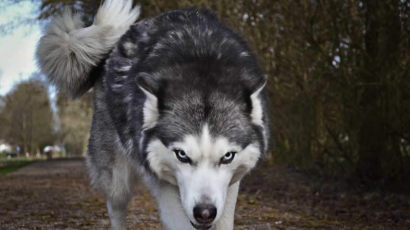 #841 El lobo y las siete cabritas