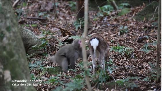 Mono grabado tratando de tener relaciones con un venado