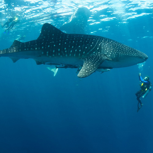 Tinuku Travel Teluk Cenderawasih National Park chatting with Whale Sharks and thousands aquatic species on West Papua