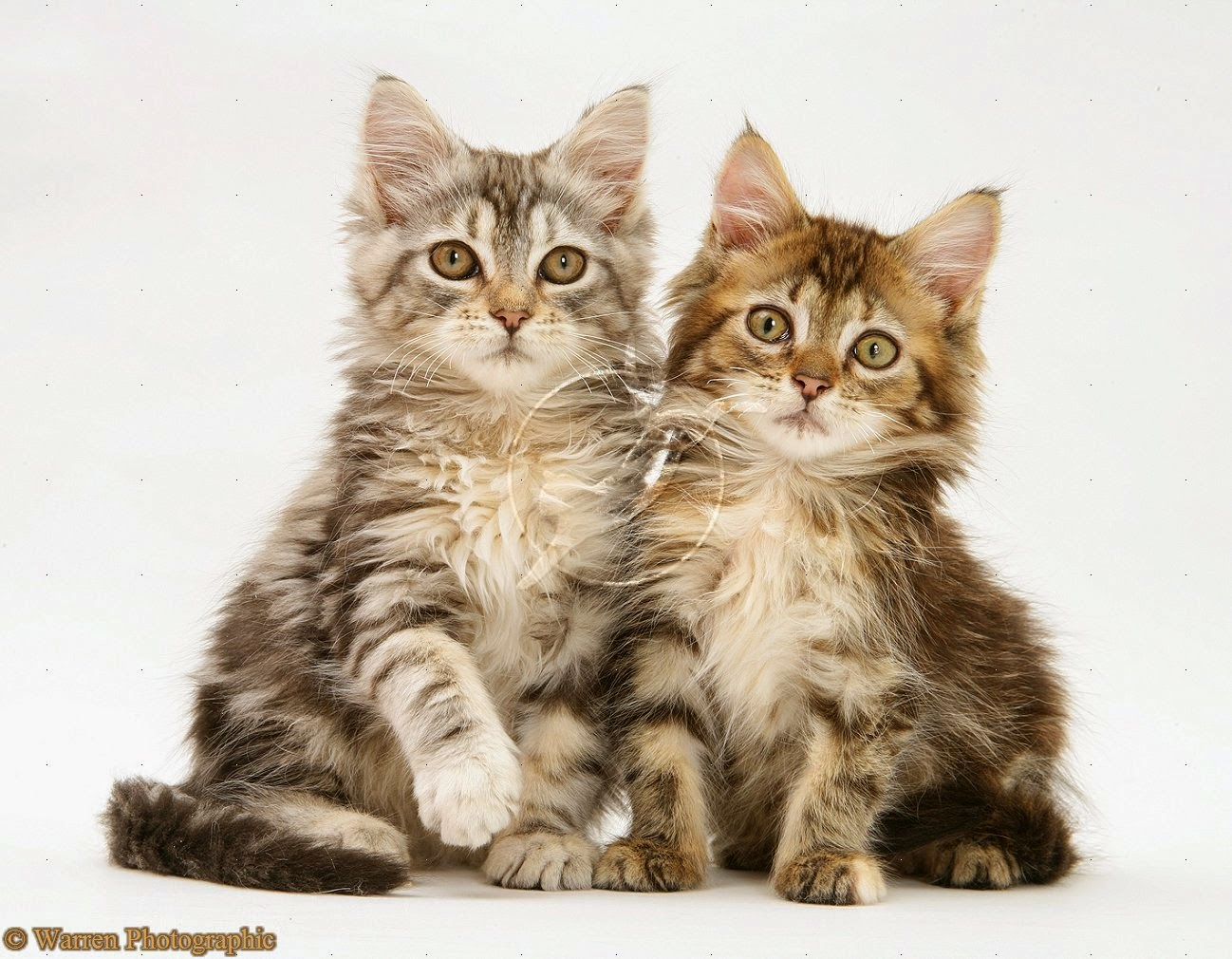 Gambar Kucing Condromowo godean.web.id