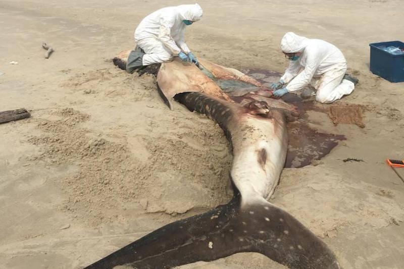 Carcaça de tubarão-baleia