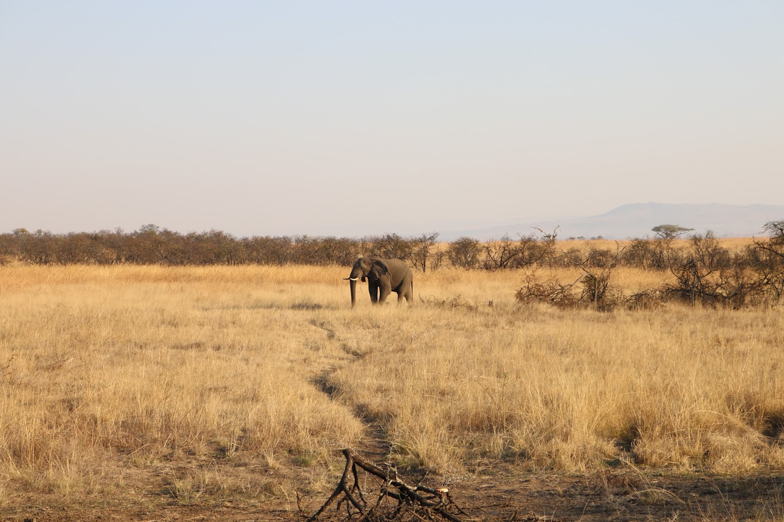 Elephant in the Nambiti Game Reserve, South Africa