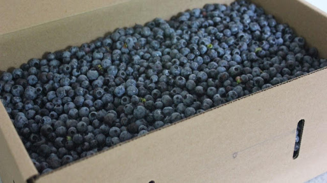 Maine low bush blueberries
