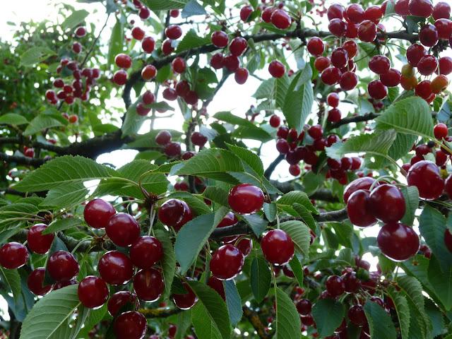http://tipspetani.blogspot.com/2017/09/cara-menanam-tanaman-buah-ceri-yang-baik.html