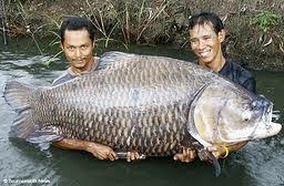 Gambar Larsen Teknik Budidaya Ikan Gurame Klasifikasi Gambar Gurami Jantan Betina Di Rebanas Rebanas
