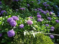 濃い紫色 あじさい