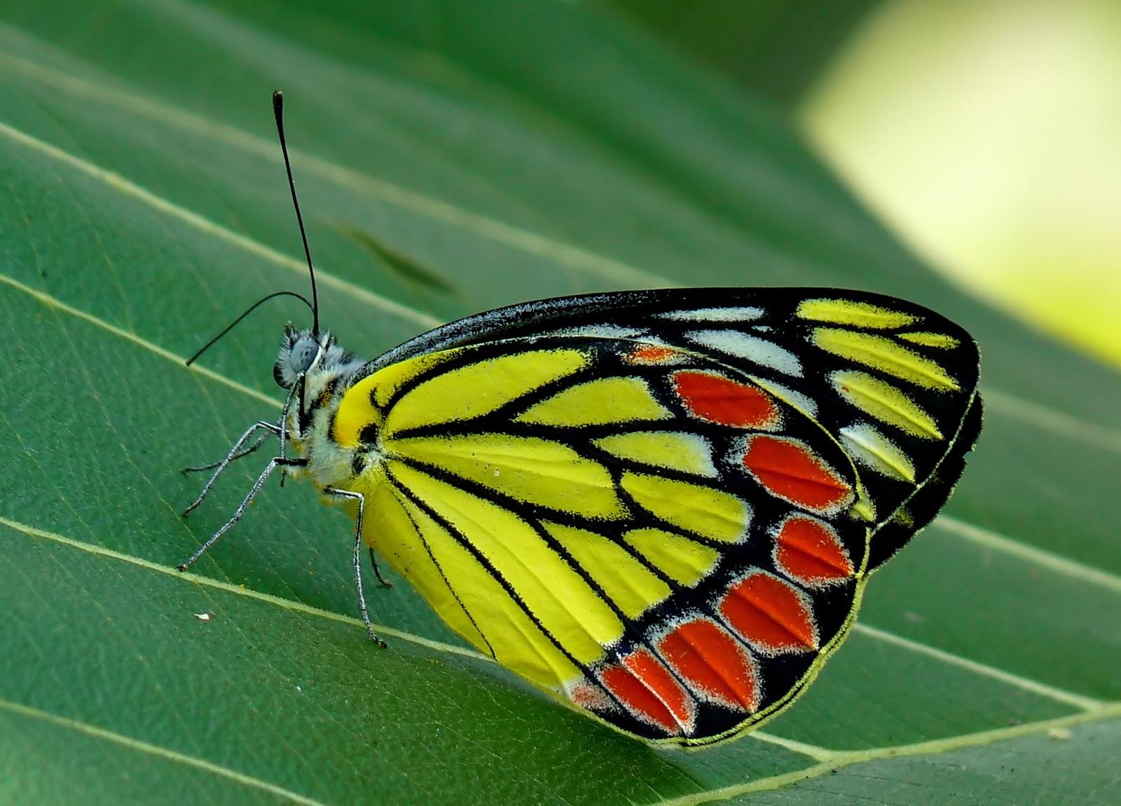 Insects: Common Jezebel Delias eucharis