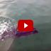 (คลิป) ปลาทูน่ายักษ์เขมือบนกนางนวลเข้าไปทั้งตัว ..แต่คงไม่อร่อยก็เลย..