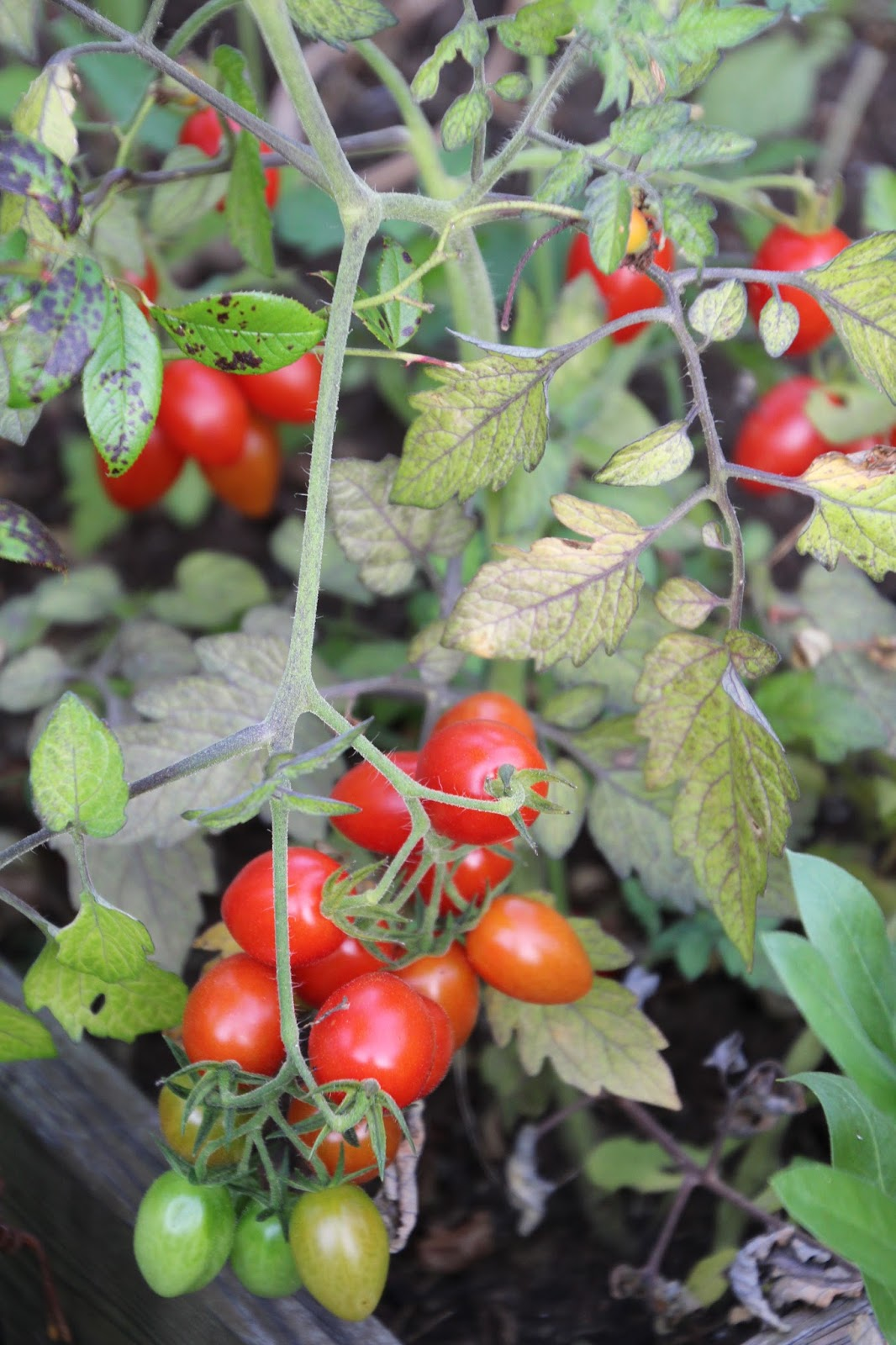 självsådd tomat