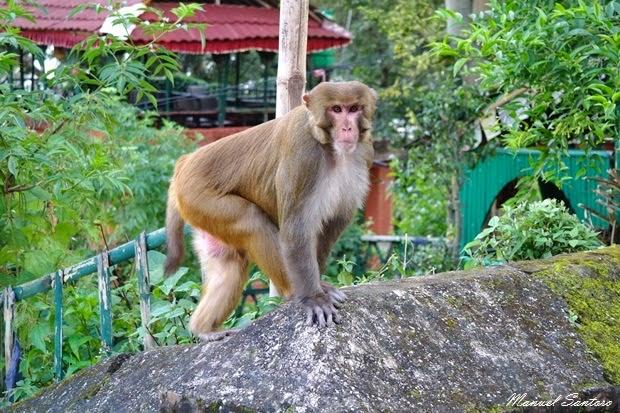 Changu Narayan, scimmia nei pressi del tempio