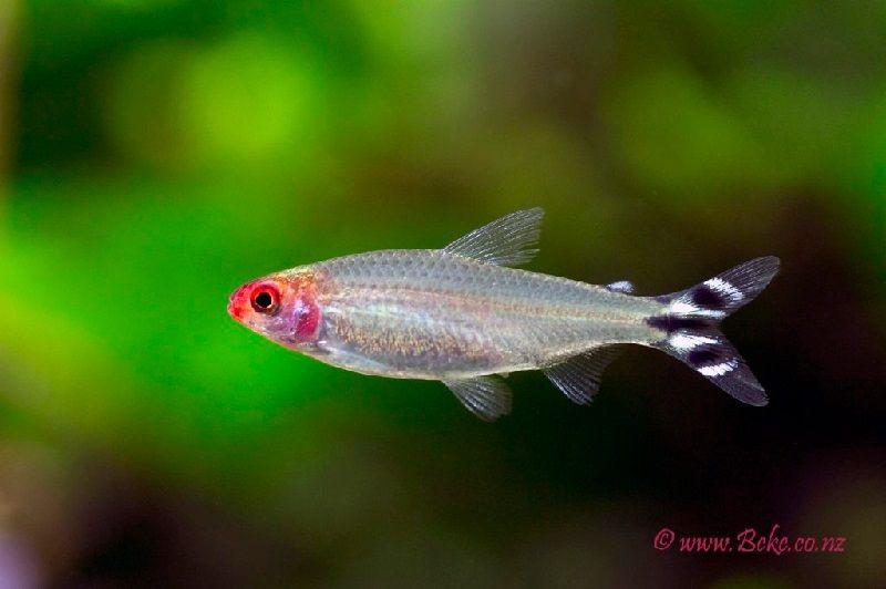 12. Jenis Ikan Hias Aquascape Rummynose Tetra