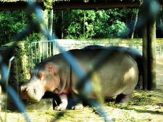 Hipopótamos no Parque Zoológico de Sapucaia