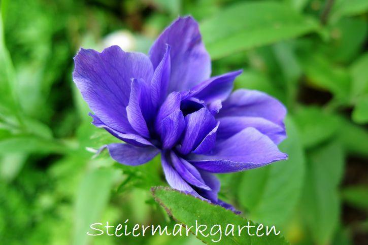 Blüte-Steiermarkgarten