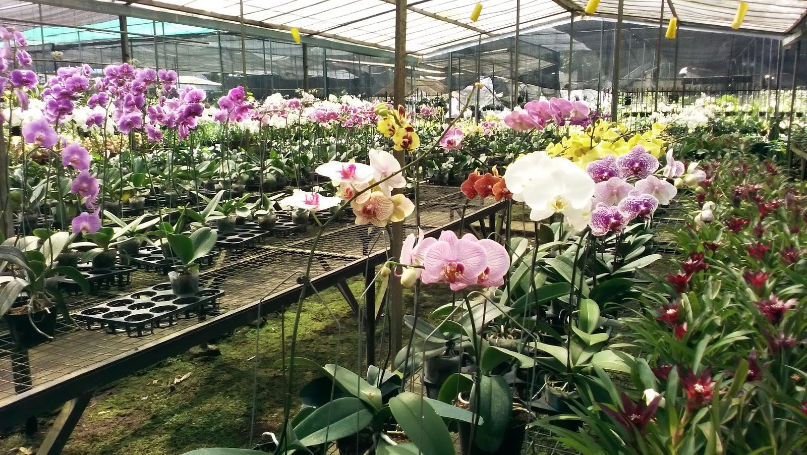 Tukang Bunga Anggrek Bunga Angrek Bulan Petani Angrek Pusat