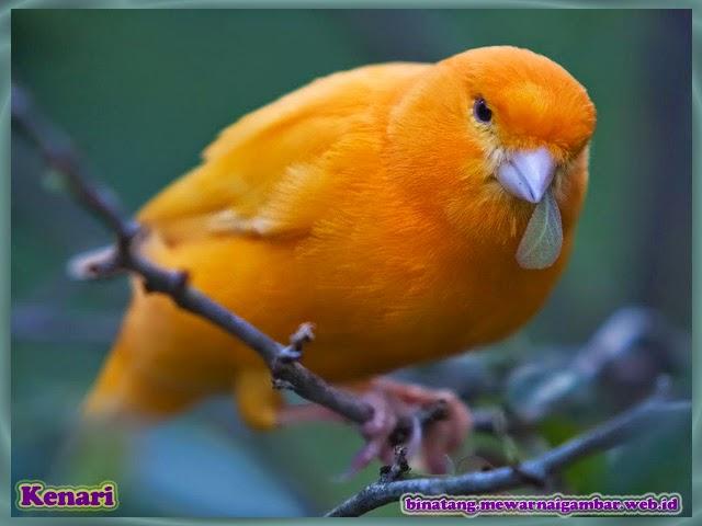 gambar binatang burung kenari