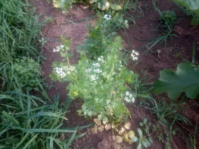 パクチーは降水不足と高温に負けて生育不良です。 花が咲いてしまいました。