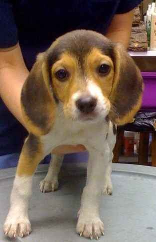 Teacup Beagle Puppies For Sale | Beagle Puppy