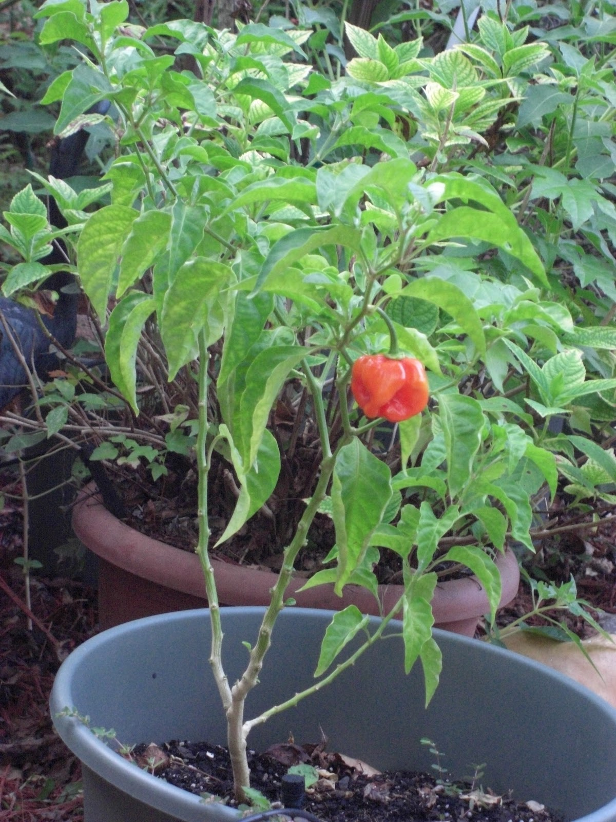 For the Love of Food: Hot Peppers: Growing A Hot Pepper ...