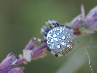 Epeire tréflée - Araneus trifolium