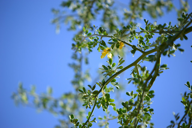 Parkinsonia florida, small sunny garden, amy myers photography, desert tree, Palo Verde