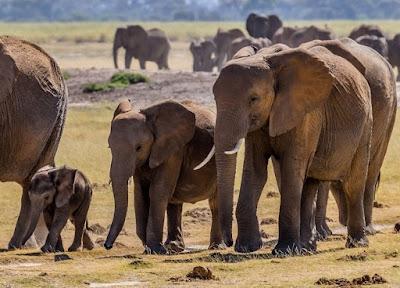 Mimpi Melihat Populasi Gajah dan Anaknya