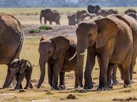 20 Arti Mimpi Melihat Gajah: Mengamuk, Masuk Rumah, Berlari, dll