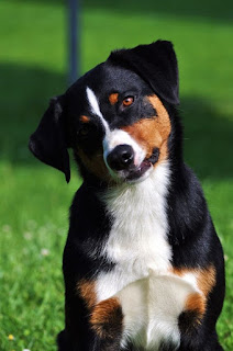 Everything about your Appenzeller Sennenhund