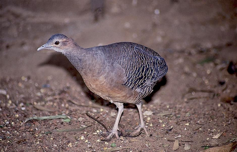 Eastern thicket Tinamou