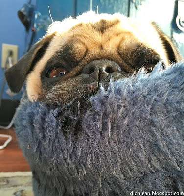Liam the pug is lazy in his bed